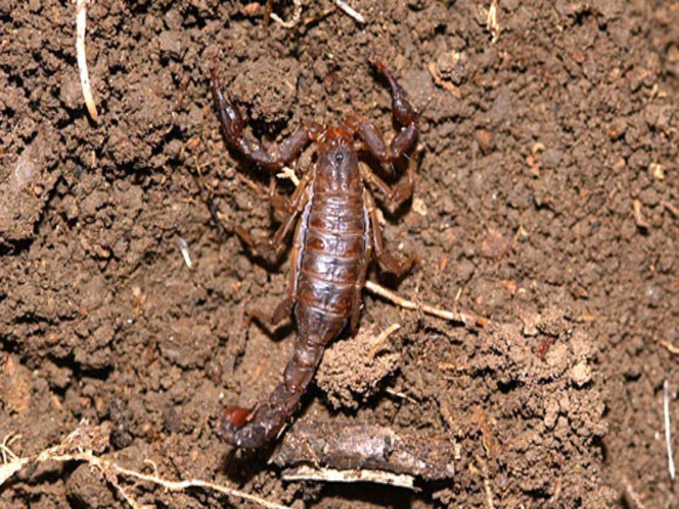 4. helyezett: a skorpiók A bakancsban leselkedő halál Bár a világon élő ezerötszáz skorpiófaj (Scorpiones) közül mindössze huszonöt veszélyes az ember