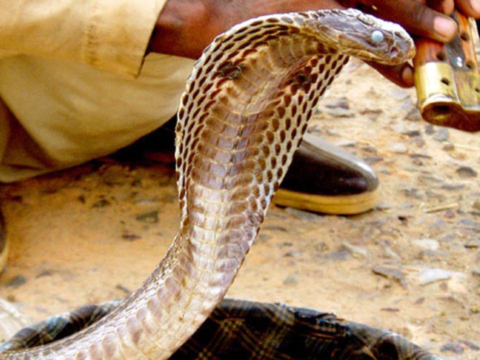 2. helyezett: az indiai kobra A kobrák kobrája Évente több mint ötmillió kígyóharapás éri az embereket, ebből 125 ezer eset végződik halállal. Bár nem