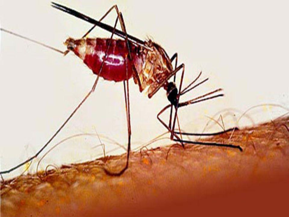 1. helyezett: a maláriaszúnyog Kétmillió áldozat évente Napjaink legveszélyesebb, állatok által terjesztett betegsége a malária. A malária avagy váltó