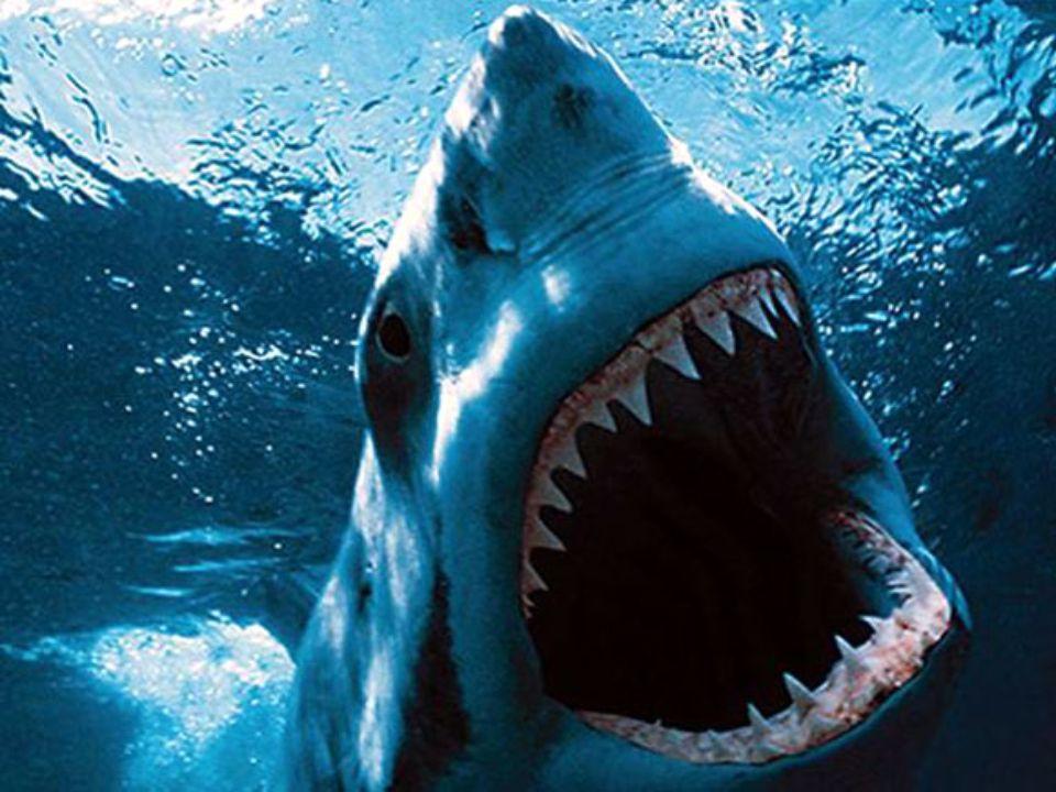10. helyezett: a nagy fehér cápa A nagy fehér cápa (Carcharodon carcharias) a világ szinte minden 12-24 Celsius-fokos vízhőmérsékletű tengerében megta