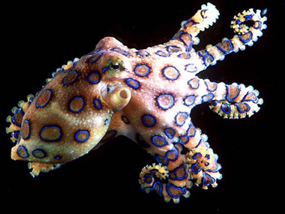 9. helyezett: a kékgyűrűs polip Fájdalommentes, de halálos Ausztrália part menti vizeinek egy másik halálos állata a kékgyűrűs polip (Hapalochlaena-fa
