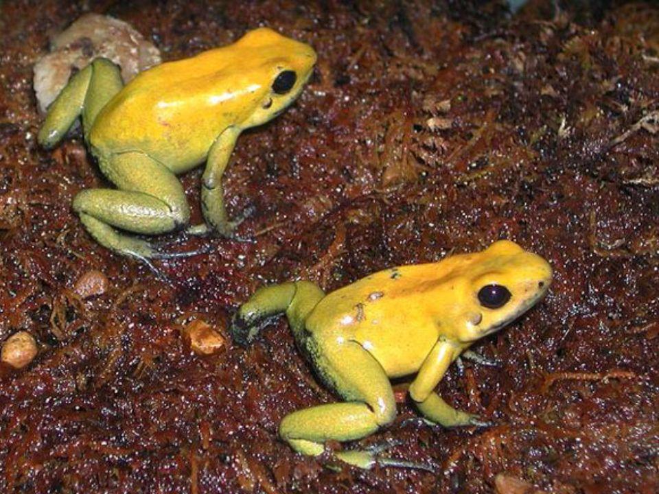 8. helyezett: az arany nyílméregbéka Két év múlva is mérgez A Kolumbia esőerdeiben őshonos, 5 centiméteresre megnövő arany nyílméregbéka (Phyllobates