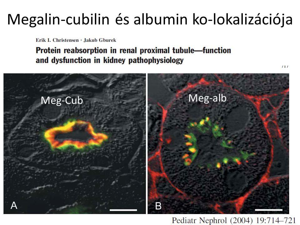 Megalin-cubilin és albumin ko-lokalizációja Meg-Cub Meg-alb