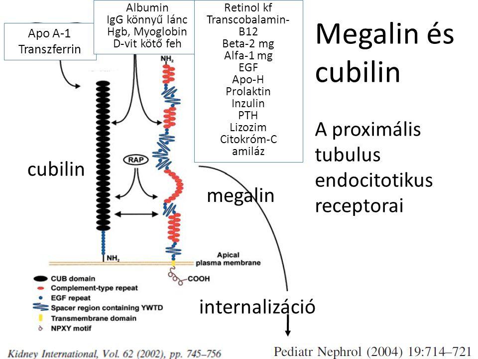 Megalin és cubilin A proximális tubulus endocitotikus receptorai Apo A-1 Transzferrin Albumin IgG könnyű lánc Hgb, Myoglobin D-vit kötő feh Retinol kf