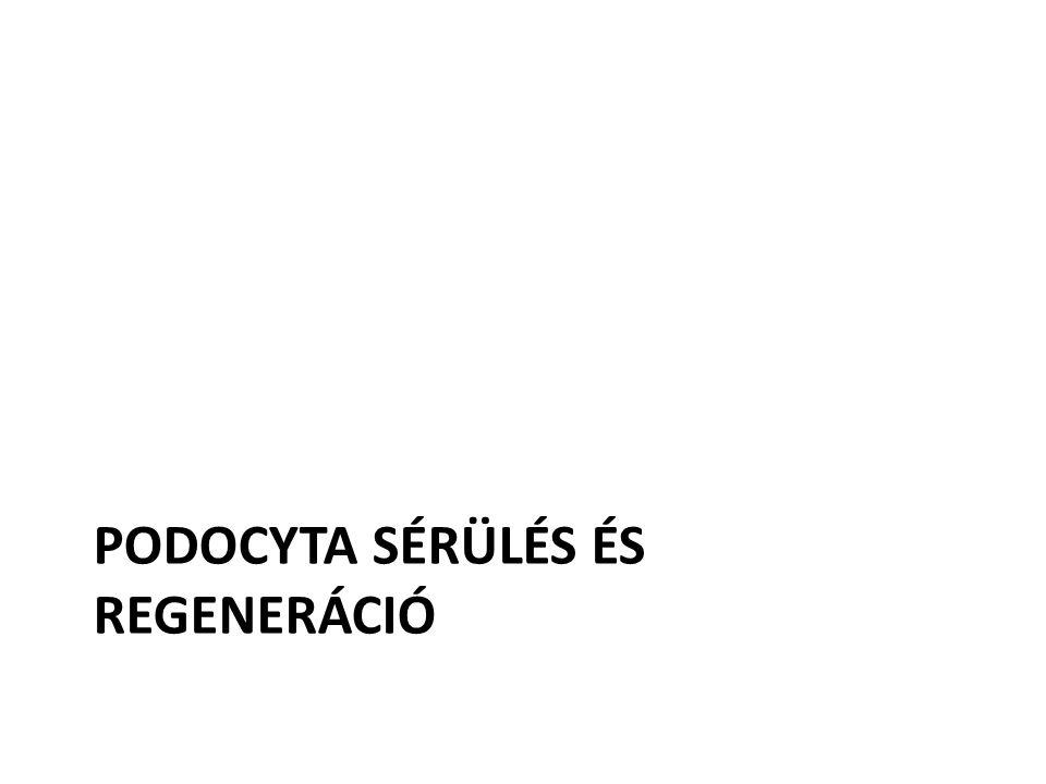 PODOCYTA SÉRÜLÉS ÉS REGENERÁCIÓ