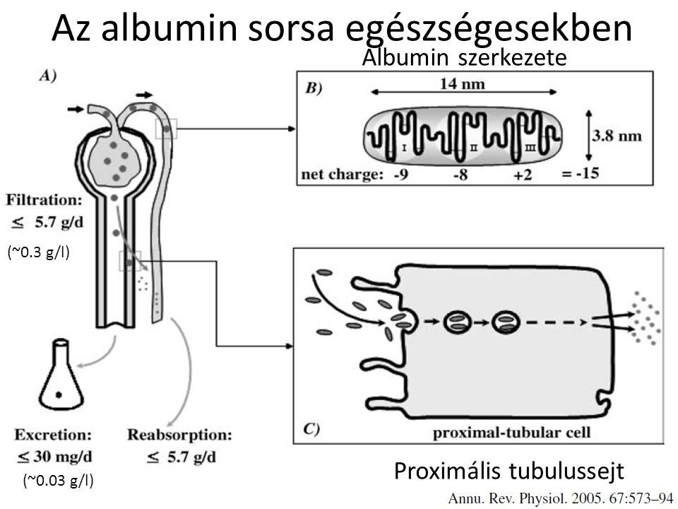 Az albumin sorsa egészségesekben Albumin szerkezete Proximális tubulussejt (~0.3 g/l) (~0.03 g/l)