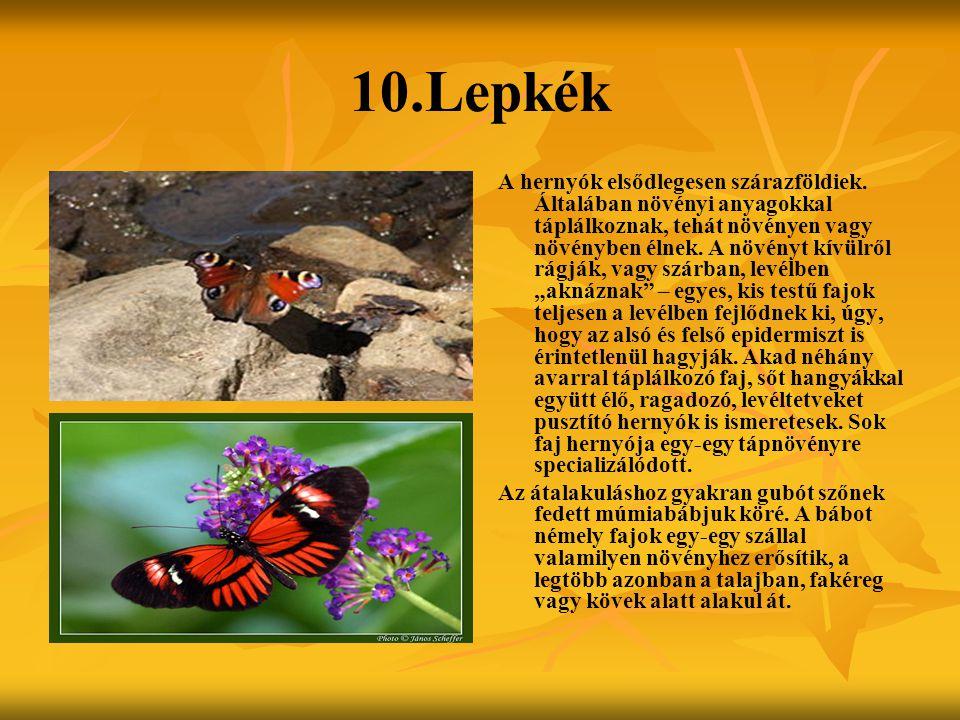 10.Lepkék A hernyók elsődlegesen szárazföldiek. Általában növényi anyagokkal táplálkoznak, tehát növényen vagy növényben élnek. A növényt kívülről rág