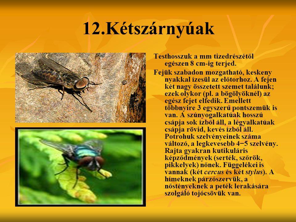 12.Kétszárnyúak Testhosszuk a mm tizedrészétől egészen 8 cm-ig terjed. Fejük szabadon mozgatható, keskeny nyakkal ízesül az előtorhoz. A fejen két nag