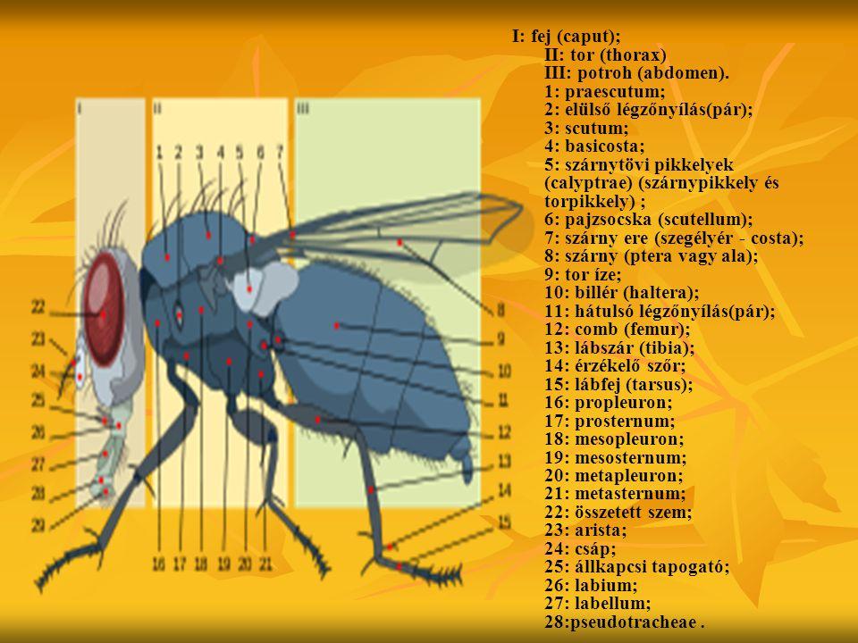 I: fej (caput); II: tor (thorax) III: potroh (abdomen). 1: praescutum; 2: elülső légzőnyílás(pár); 3: scutum; 4: basicosta; 5: szárnytövi pikkelyek (c