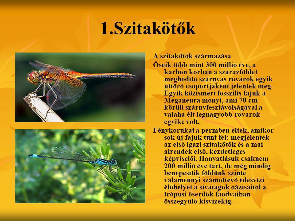 1.Szitakötők A szitakötők származása Őseik több mint 300 millió éve, a karbon korban a szárazföldet meghódító szárnyas rovarok egyik úttörő csoportjaként jelentek meg.