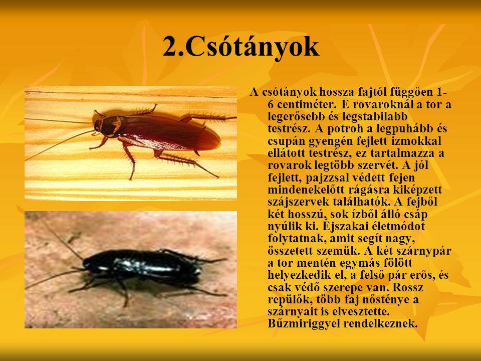 2.Csótányok A csótányok hossza fajtól függően 1- 6 centiméter. E rovaroknál a tor a legerősebb és legstabilabb testrész. A potroh a legpuhább és csupá