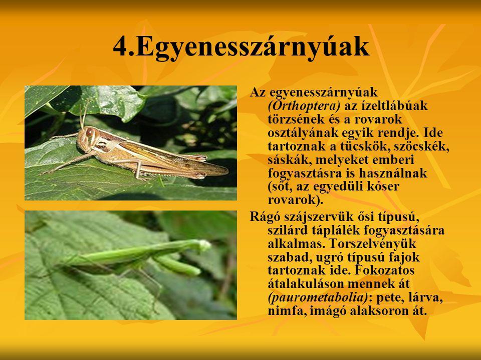 4.Egyenesszárnyúak Az egyenesszárnyúak (Orthoptera) az ízeltlábúak törzsének és a rovarok osztályának egyik rendje. Ide tartoznak a tücskök, szöcskék,