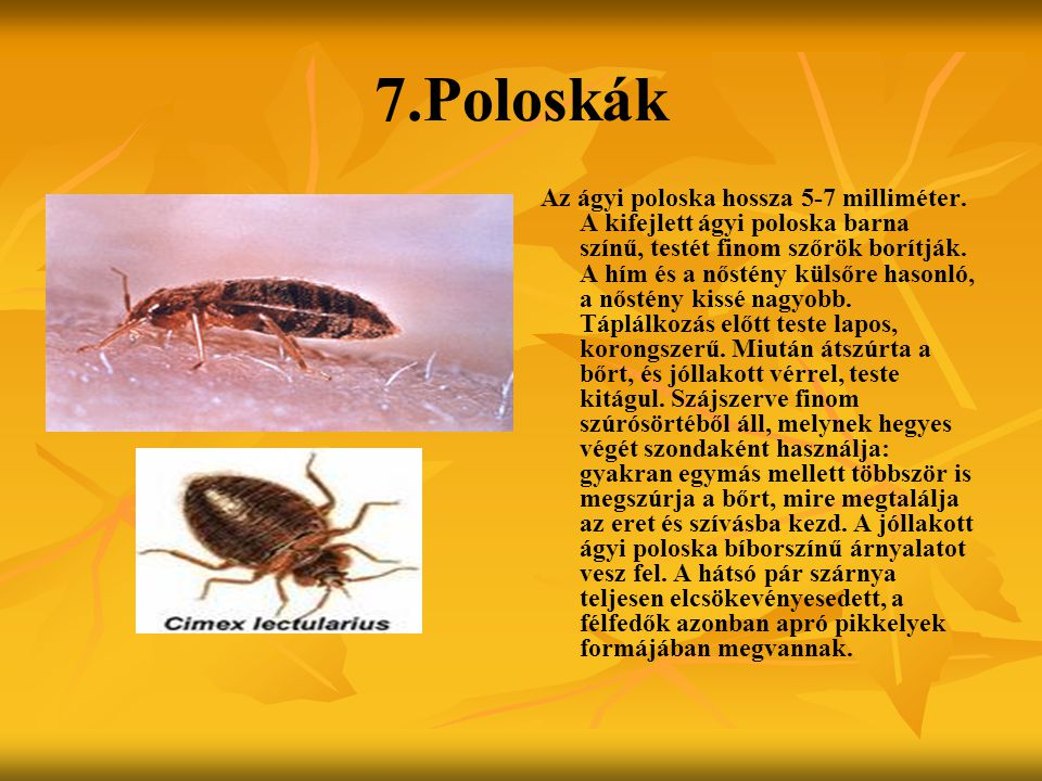 7.Poloskák Az ágyi poloska hossza 5-7 milliméter. A kifejlett ágyi poloska barna színű, testét finom szőrök borítják. A hím és a nőstény külsőre hason