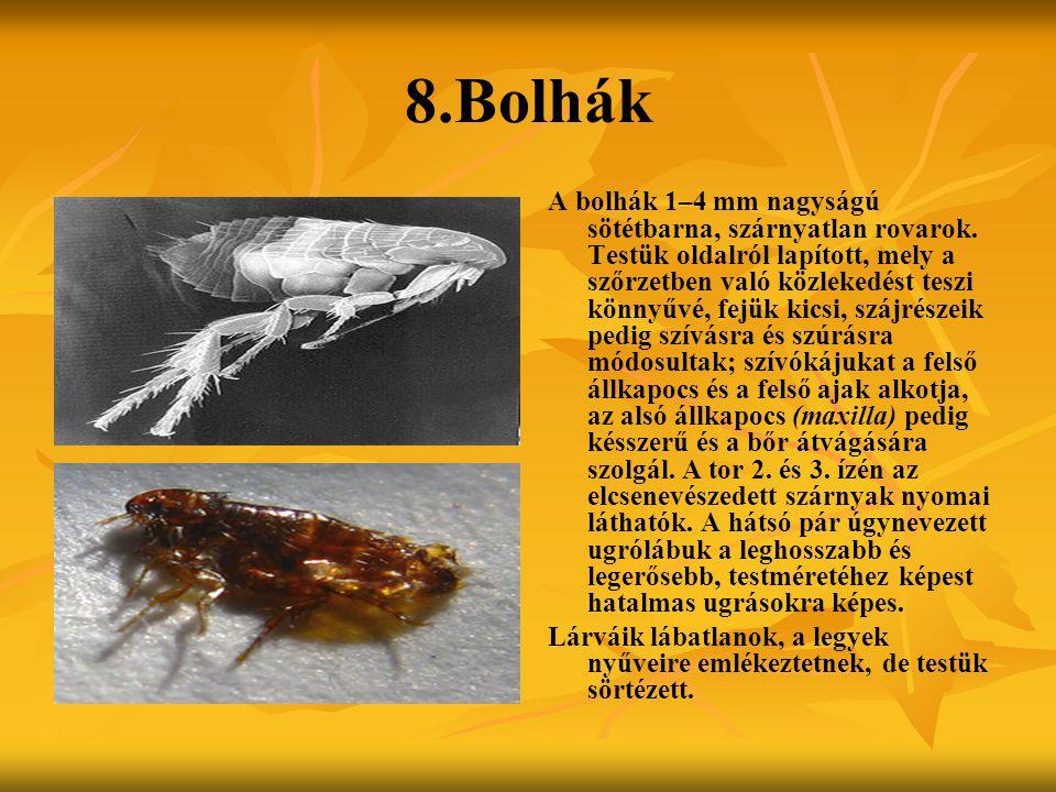 8.Bolhák A bolhák 1–4 mm nagyságú sötétbarna, szárnyatlan rovarok. Testük oldalról lapított, mely a szőrzetben való közlekedést teszi könnyűvé, fejük