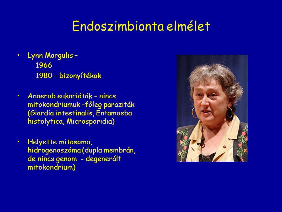 Endoszimbionta elmélet Lynn Margulis – 1966 1980 – bizonyítékok Anaerob eukarióták – nincs mitokondriumuk –főleg paraziták (Giardia intestinalis, Enta