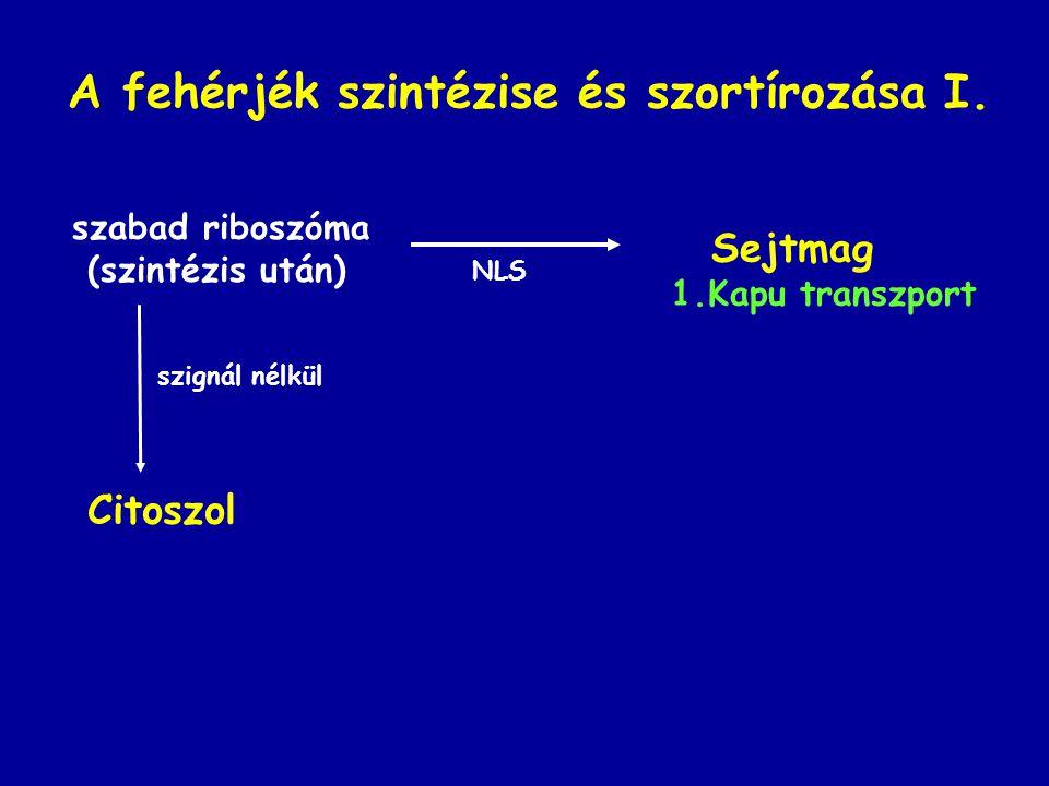 A fehérjék szintézise és szortírozása I. szabad riboszóma (szintézis után) szignál nélkül Citoszol Sejtmag 1.Kapu transzport NLS