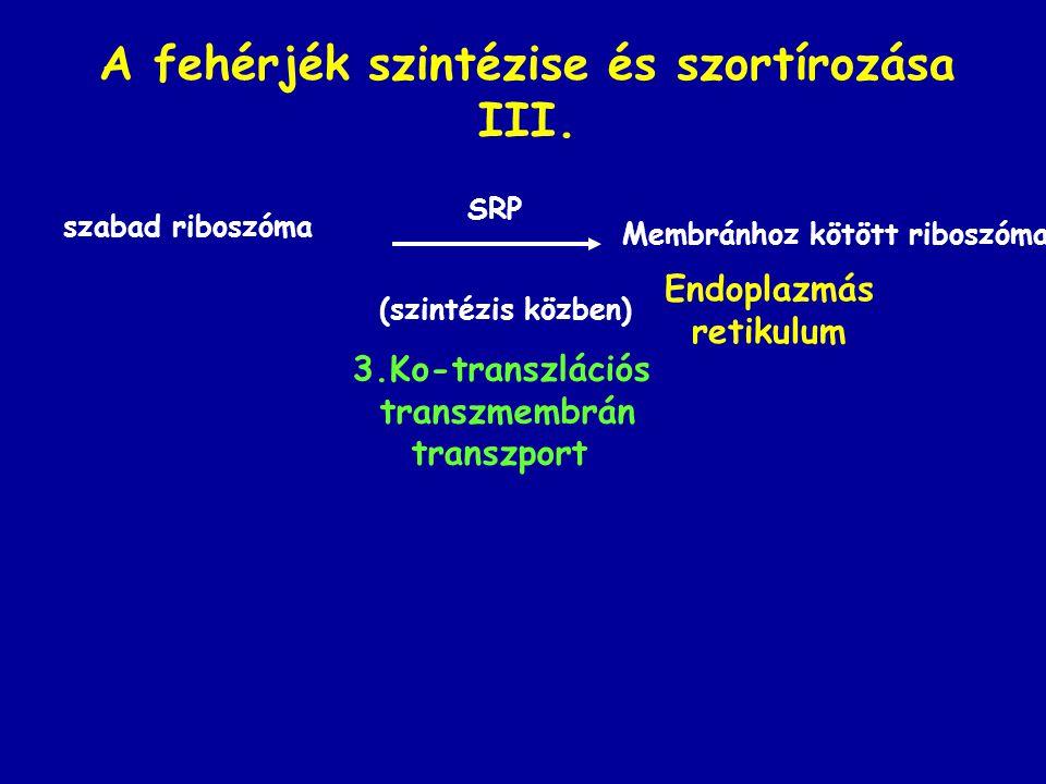 A fehérjék szintézise és szortírozása III. szabad riboszóma (szintézis közben) Endoplazmás retikulum 3.Ko-transzlációs transzmembrán transzport Membrá