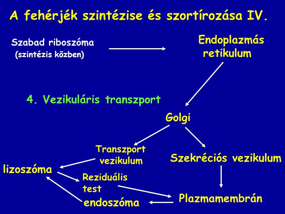 A fehérjék szintézise és szortírozása IV. Szabad riboszóma (szintézis közben) Golgi Plazmamembrán lizoszóma 4. Vezikuláris transzport Endoplazmás reti