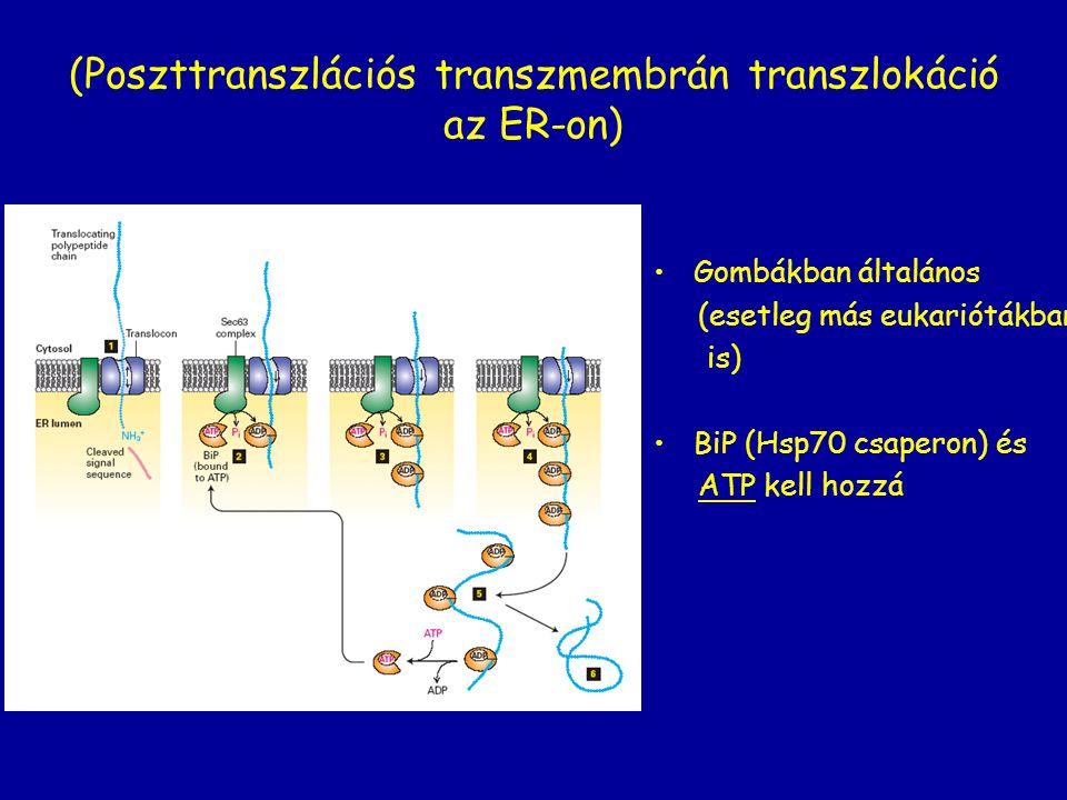 (Poszttranszlációs transzmembrán transzlokáció az ER-on) Gombákban általános (esetleg más eukariótákban is) BiP (Hsp70 csaperon) és ATP kell hozzá