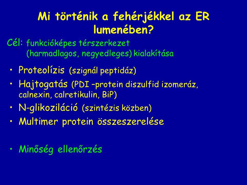 Mi történik a fehérjékkel az ER lumenében? Proteolízis (szignál peptidáz) Hajtogatás (PDI –protein diszulfid izomeráz, calnexin, calretikulin, BiP) N-