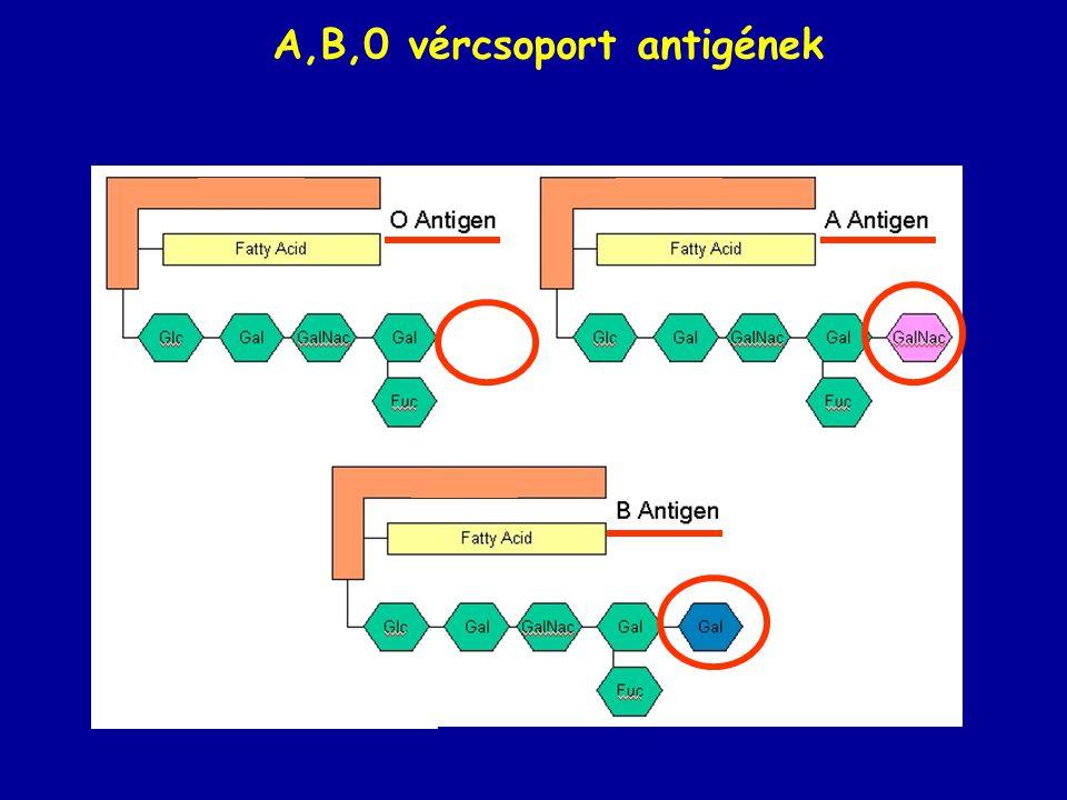 tonga.usip.edu/gmoyna/ biochem341/lecture29.html A,B,0 vércsoport antigének tonga.usip.edu/gmoyna/ biochem341/lecture29.html