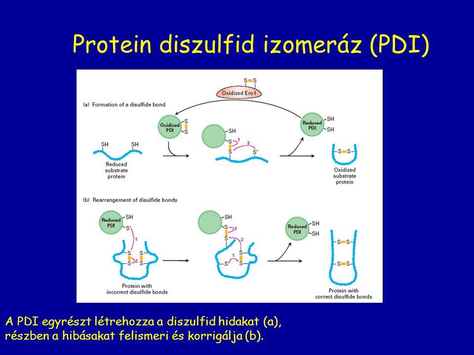 Protein diszulfid izomeráz (PDI) A PDI egyrészt létrehozza a diszulfid hidakat (a), részben a hibásakat felismeri és korrigálja (b).