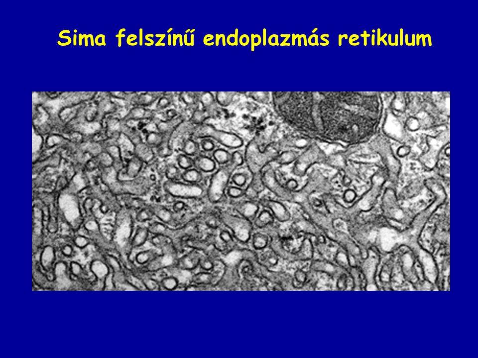 Sima felszínű endoplazmás retikulum