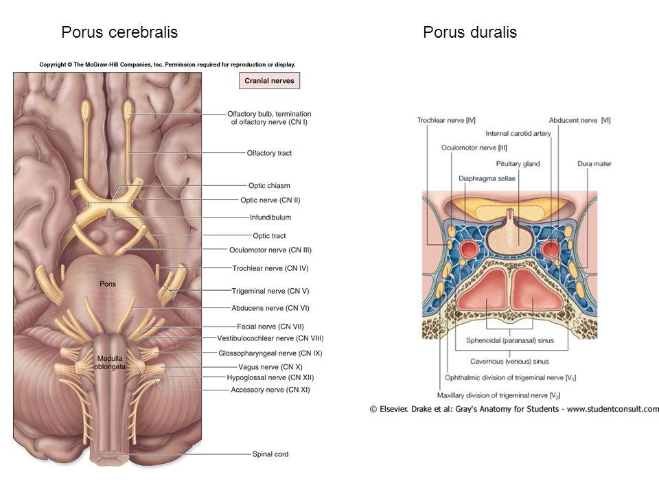 Porus cerebralis Porus duralis
