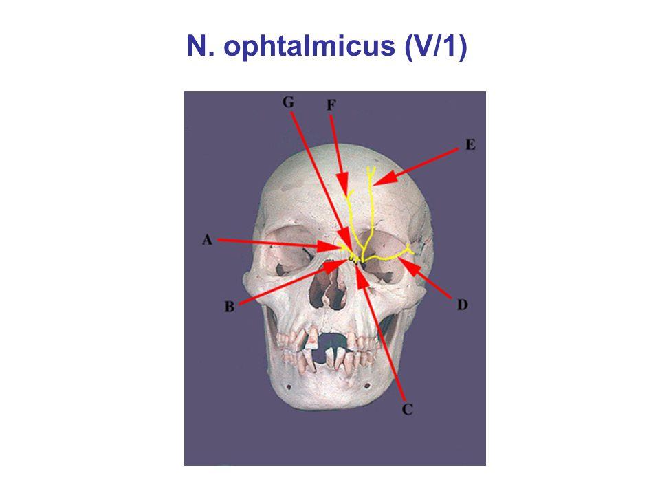 N. ophtalmicus (V/1)
