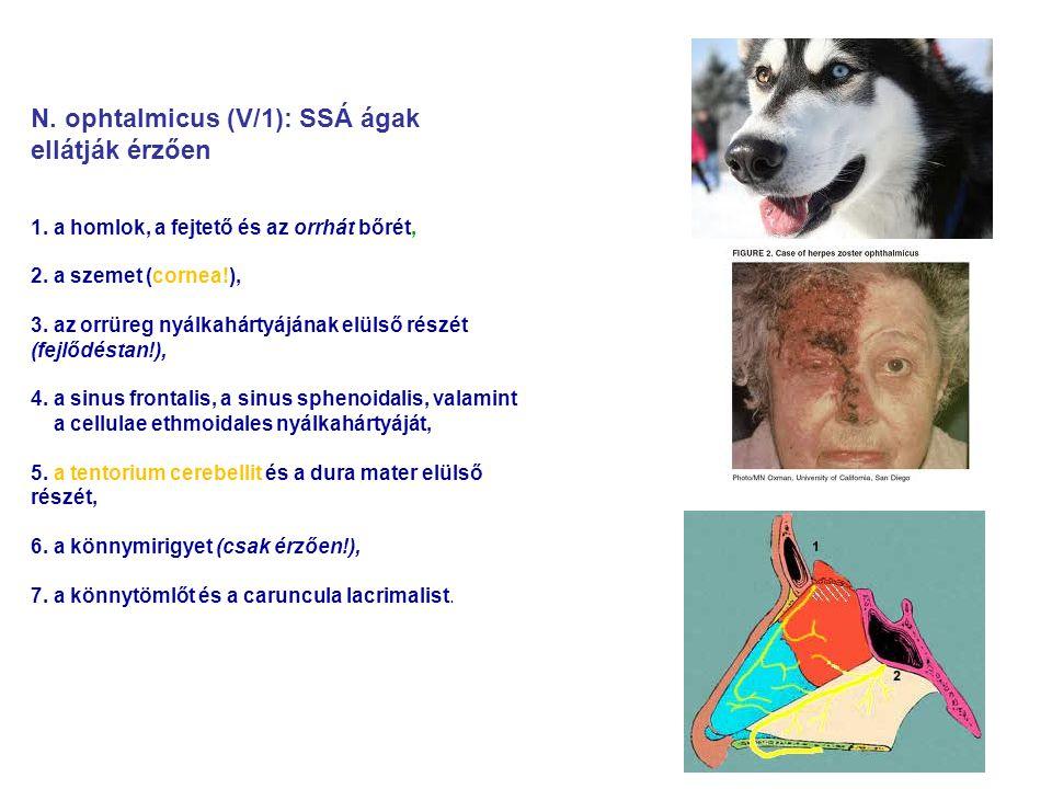 N. ophtalmicus (V/1): SSÁ ágak ellátják érzően 1. a homlok, a fejtető és az orrhát bőrét, 2. a szemet (cornea!), 3. az orrüreg nyálkahártyájának elüls