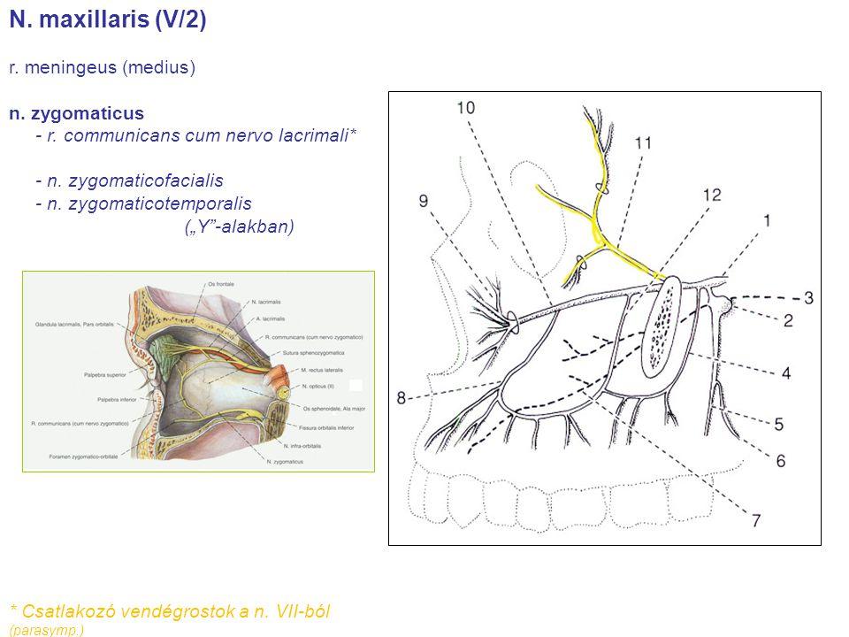 """N. maxillaris (V/2) r. meningeus (medius) n. zygomaticus - r. communicans cum nervo lacrimali* - n. zygomaticofacialis - n. zygomaticotemporalis (""""Y""""-"""