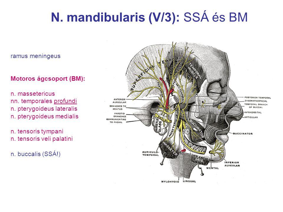 ramus meningeus Motoros ágcsoport (BM): n. massetericus nn. temporales profundi n. pterygoideus lateralis n. pterygoideus medialis n. tensoris tympani