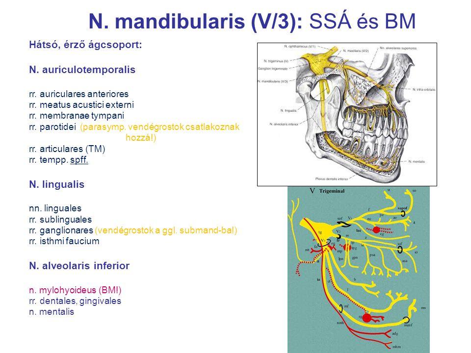 Hátsó, érző ágcsoport: N. auriculotemporalis rr. auriculares anteriores rr. meatus acustici externi rr. membranae tympani rr. parotidei (parasymp. ven