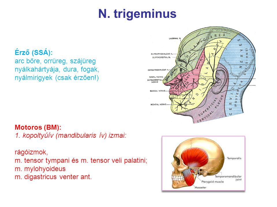 N. trigeminus Érző (SSÁ): arc bőre, orrüreg, szájüreg nyálkahártyája, dura, fogak, nyálmirigyek (csak érzően!) Motoros (BM): 1. kopoltyúív (mandibular