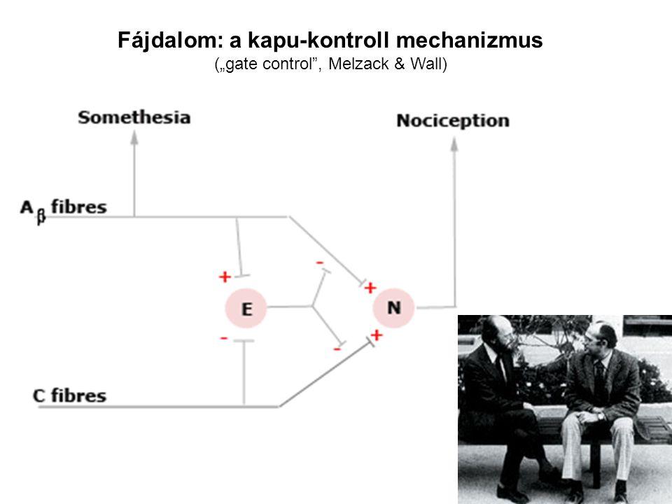 """Fájdalom: a kapu-kontroll mechanizmus (""""gate control"""", Melzack & Wall)"""
