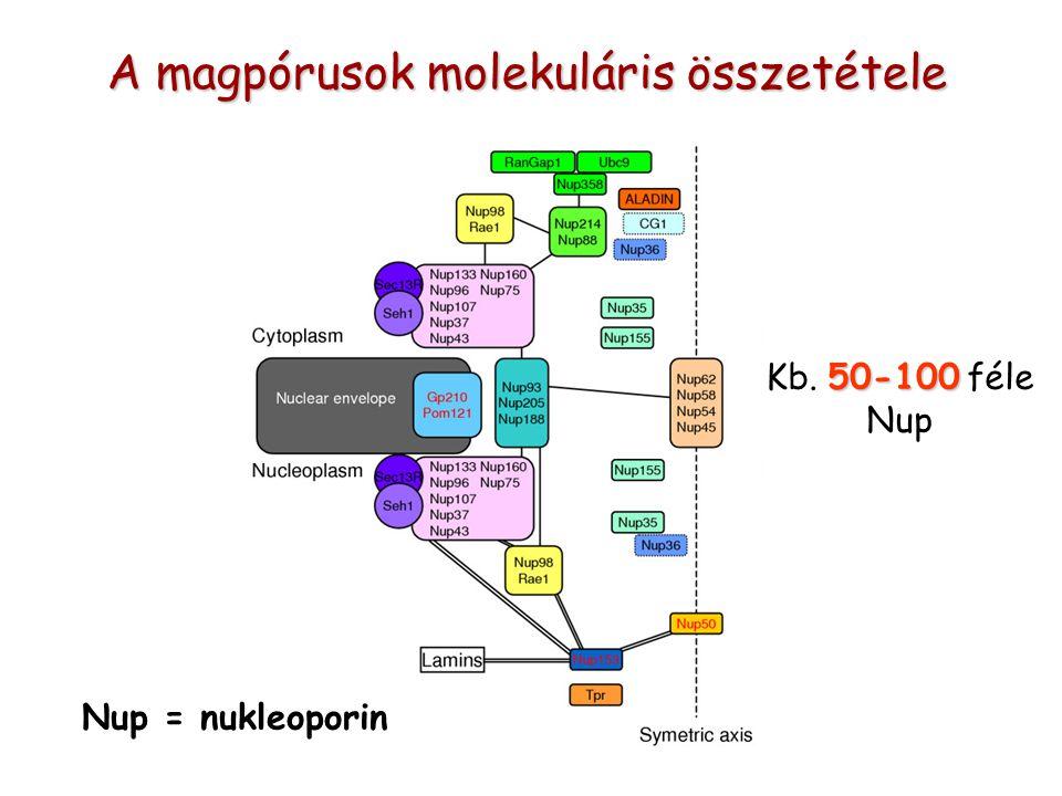 A magpórusok molekuláris összetétele Nup = nukleoporin 50-100 Kb. 50-100 féle Nup