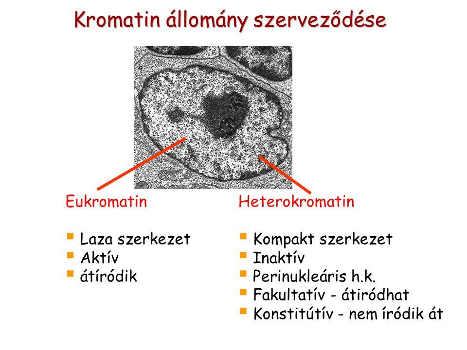 Kromatin állomány szerveződése Heterokromatin  Kompakt szerkezet  Inaktív  Perinukleáris h.k.