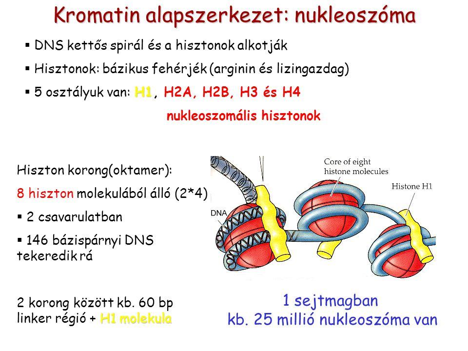 Kromatin alapszerkezet: nukleoszóma  DNS kettős spirál és a hisztonok alkotják  Hisztonok: bázikus fehérjék (arginin és lizingazdag) H1  5 osztályu