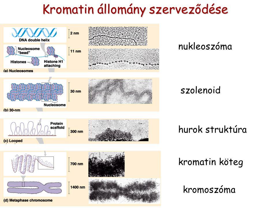 Kromatin állomány szerveződése szolenoid hurok struktúrakromatin köteg kromoszóma nukleoszóma