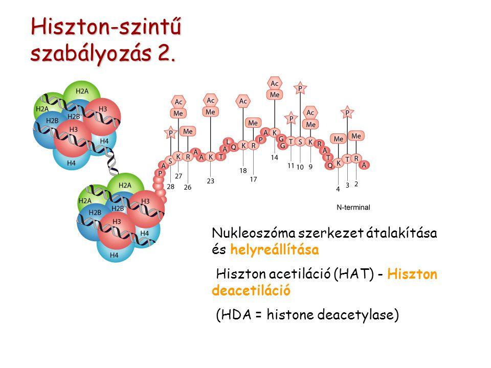 Nukleoszóma szerkezet átalakítása és helyreállítása Hiszton acetiláció (HAT) - Hiszton deacetiláció (HDA = histone deacetylase) Hiszton-szintű szabályozás 2.