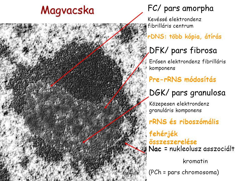 Magvacska FC/ pars amorpha Kevéssé elektrondenz fibrilláris centrum rDNS: több kópia, átírás DFK/ pars fibrosa Erősen elektrondenz fibrilláris komponens Pre-rRNS módosítás DGK/ pars granulosa Közepesen elektrondenz granuláris komponens rRNS és riboszómális fehérjék összeszerelése Nac = nukleolusz asszociált kromatin (PCh = pars chromosoma)