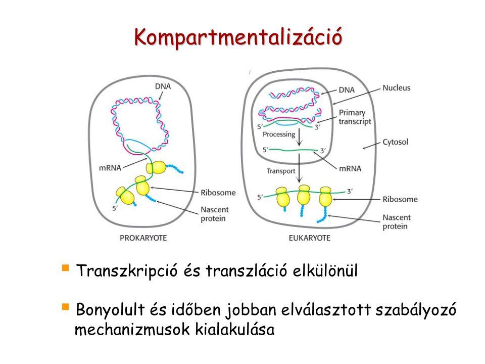 Kompartmentalizáció  Transzkripció és transzláció elkülönül  Bonyolult és időben jobban elválasztott szabályozó mechanizmusok kialakulása