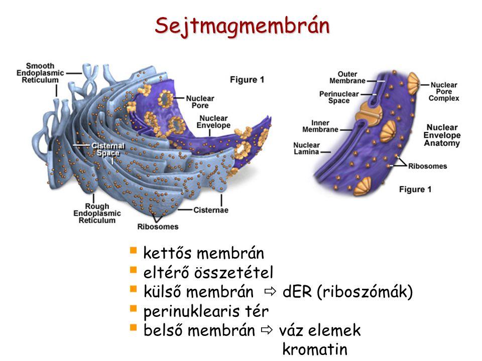 Sejtmagmembrán  kettős membrán  eltérő összetétel  külső membrán  dER (riboszómák)  perinuklearis tér  belső membrán  váz elemek kromatin
