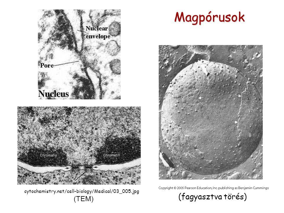 cytochemistry.net/cell-biology/Medical/03_005.jpg (TEM) Magpórusok (fagyasztva törés)