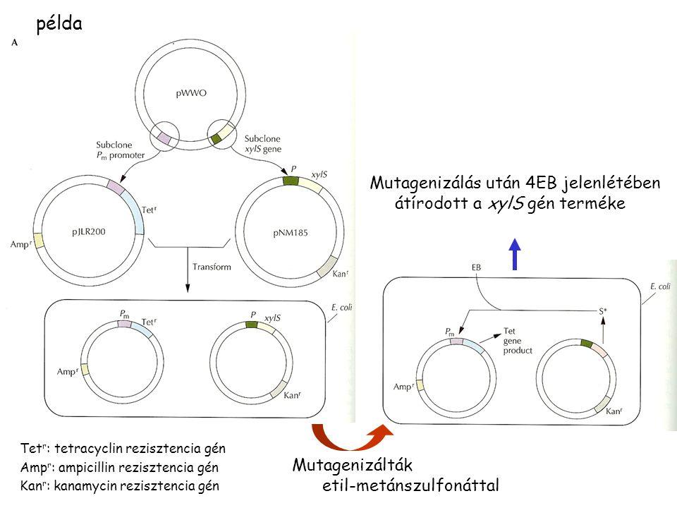 példa Tet r : tetracyclin rezisztencia gén Amp r : ampicillin rezisztencia gén Kan r : kanamycin rezisztencia gén Mutagenizálták etil-metánszulfonáttal Mutagenizálás után 4EB jelenlétében átírodott a xylS gén terméke