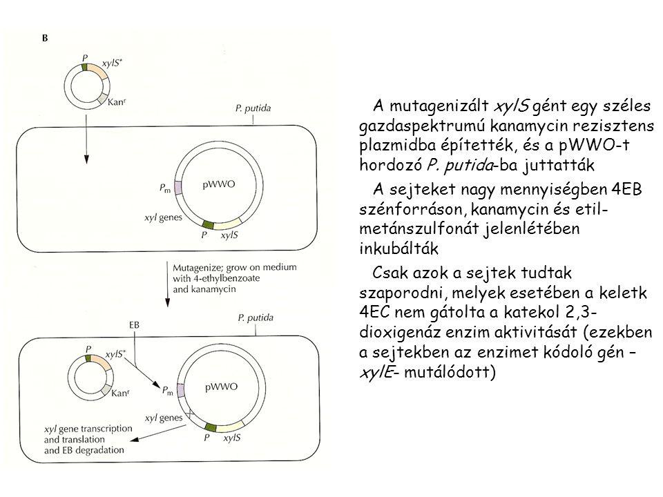 A mutagenizált xylS gént egy széles gazdaspektrumú kanamycin rezisztens plazmidba építették, és a pWWO-t hordozó P.