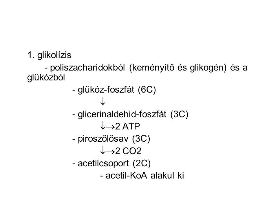 1. glikolízis - poliszacharidokból (keményítő és glikogén) és a glükózból - glükóz-foszfát (6C)  - glicerinaldehid-foszfát (3C)  2 ATP - piroszőlős