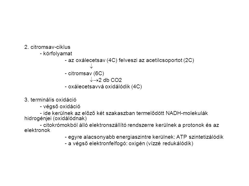 2. citromsav-ciklus - körfolyamat - az oxálecetsav (4C) felveszi az acetilcsoportot (2C)  - citromsav (6C)  2 db CO2 - oxálecetsavvá oxidálódik (4C