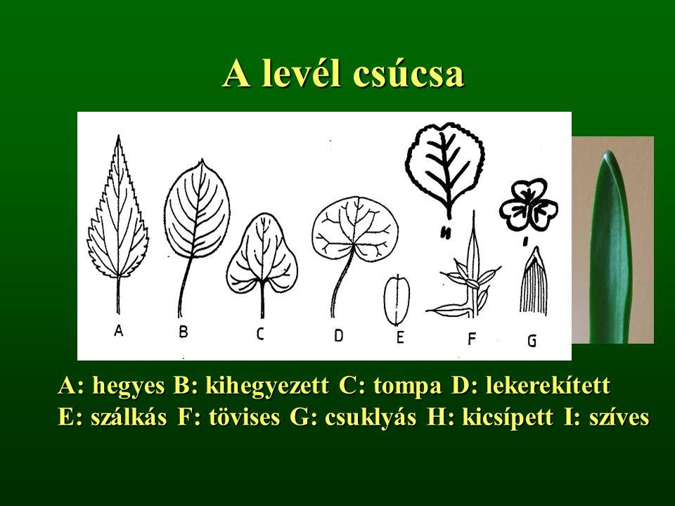 A levél csúcsa A: hegyes B: kihegyezett C: tompa D: lekerekített E: szálkás F: tövises G: csuklyás H: kicsípett I: szíves