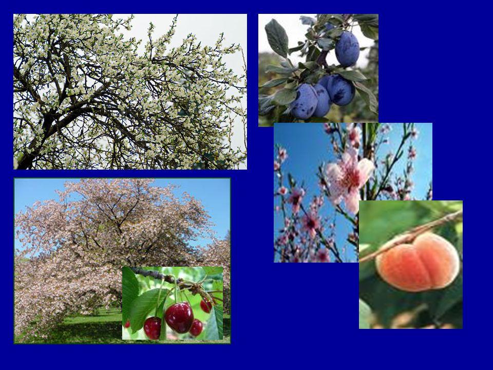 Az almafa Jellemzői: Nyirkos,levegős, tápanyagban gazdag talajt kedveli terebélyes korona középmagas, szürkésbarna kérgű törzs tojásdad, sötétzöld levél Almatermés –viaszos héj, –gyümölcshús, –hártyás falú rekeszek, –mag
